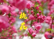 【好名声网】故乡海岸桃花(七)(高海涛)