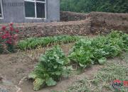 白菜是村庄的图腾(上)(张福艳)