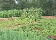 城市的菜园(时春华)