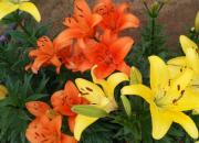 【好名声网】开在春天的百合花(张丽华)
