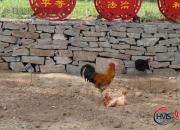 【好名声网】春节习俗——杀年鸡(时春华)
