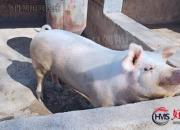 【好名声网】春节习俗——杀年猪(时春华)