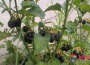 【好名声网】紫色豆豆叫龙葵(时春华)