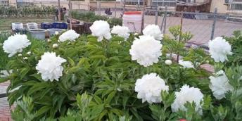【好名声网】高雅洁丽的白芍药(王铁兰)